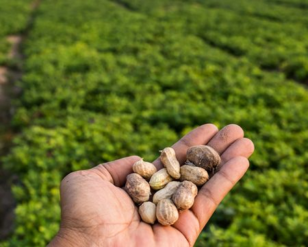 Stock image of hand full of fresh peanuts. Field in background.